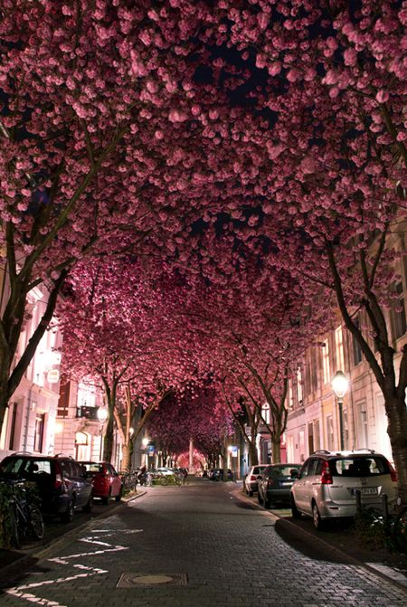 """""""Cherry Blossom Avenue. This gorgeous street scene, in Bonn, Germany, shows beautiful cherry blossoms in full bloom. 20-year-old landcape photographer Marcel Bednarz caught this image earlier this year with his Nikon D3000. Bednarz says that there are only two to three weeks when these trees are at this beautiful stage of blossoming."""""""