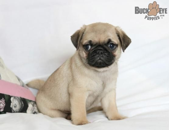 Pin By Karen Goodrich On Pugs Puppies Pug Puppies Pug Puppies For Sale