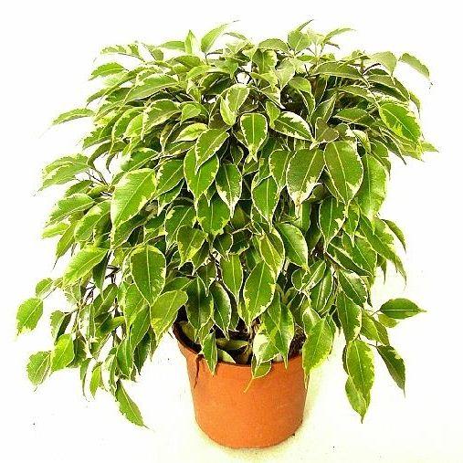 Moje Idealia Blog Lifestylowy Diy Wnetrza Ciaza I Macierzynstwo Uroda Kuchnia Rosliny Doniczkowe Ktore Oczyszczaja Powietrze W Domu Idealne Dla Alerg Ficus Benjamina Ficus Plants