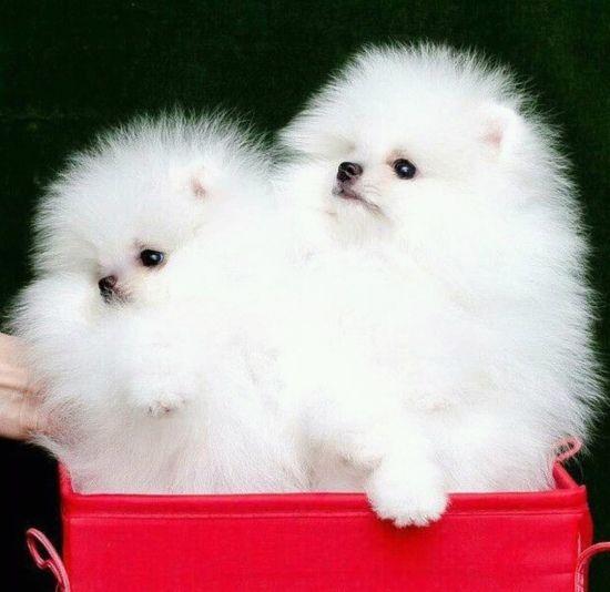 Priceless White Pomeranian Puppy For Adoption 682 302 1658 Puppies Siberian Husky Pomeranian Puppy