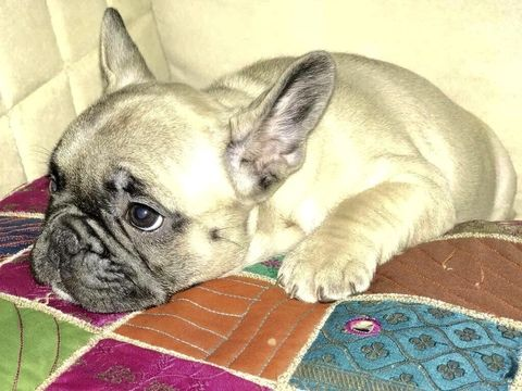 French Bulldog Puppy For Sale In Tampa Fl Adn 57468 On