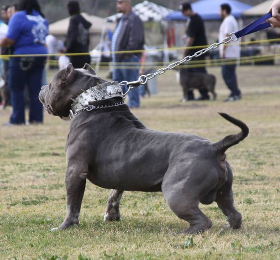 XXL Blue Pitbulls Biggest Pitbull Puppies Kennel: