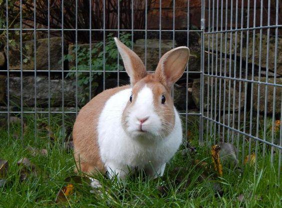 Walsall Branch Detail Rspca Org Uk Rspca Walsall Dutch Rabbit Animals