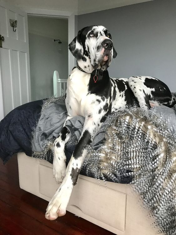 Like Your Dog S Smell That S Normal Great Dane Dogs Dane
