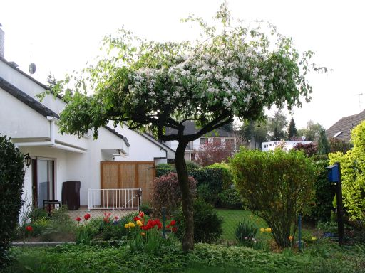 Fancy Zierkirsche Shirotae B ume als Sonnenschirme Seite Gartengestaltung Mein sch ner Garten online tuinen Pinterest Zierkirsche