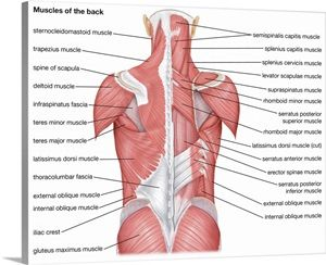 32+ Deep back muscles labeled trends