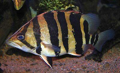 Northern Thailand Golden 3 Bar Datnoid Tigerfish