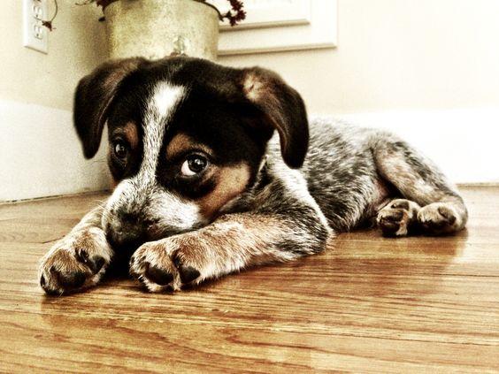 My Winston! Blue heeler beagle mix :)