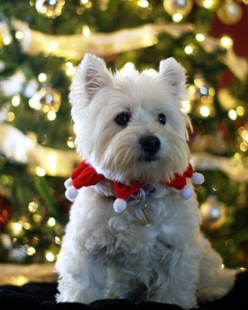 sweet Westie ready for Christmas!