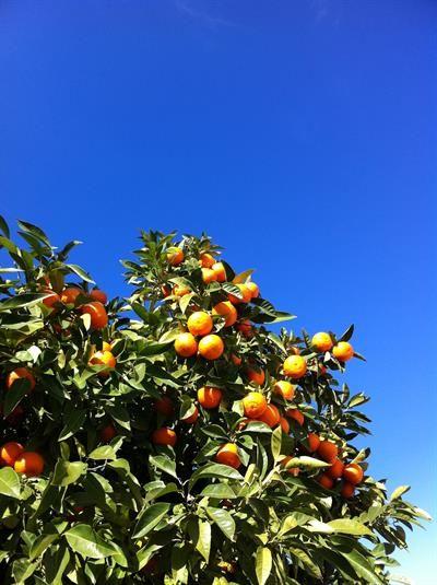 Saftig, fruchtig und gesund - Orangenernte im Land des ewigen Frühlings. Tolle Rezepte und Leckereien aus Orangenfrüchten und Schalen.