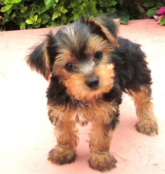 Teacup yorkshire terrier, Yorkshire terrier puppies and