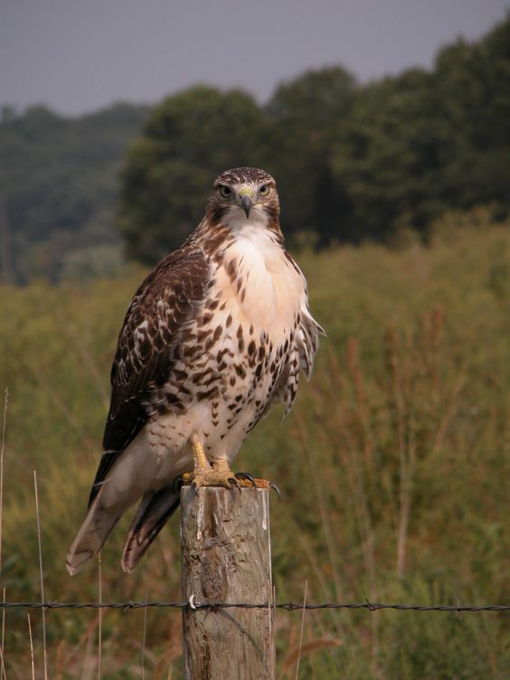 Wisconsin Falconry License Guide