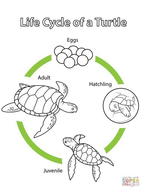 Life Cycle Of A Turtle Coloring Page Free Printable Coloring