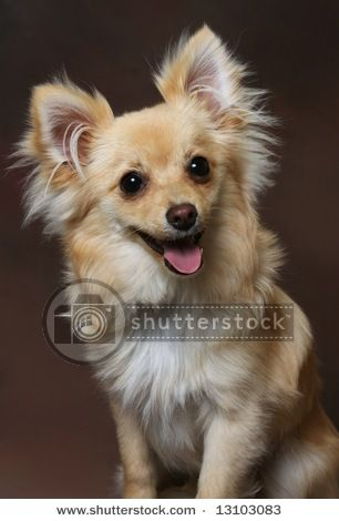 Cute little Chihuahua-Pomeranian mix dog on brown ...