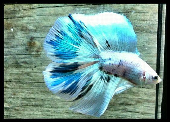 AquaBid.com -**EMPEROR SANTORINI  Doubletail