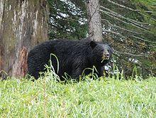 Ours noir à Whistler, Colombie Britannique, Canada