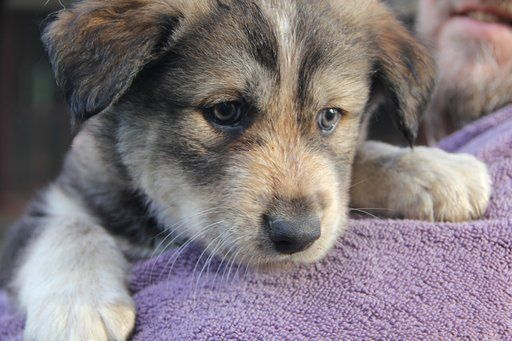 Litter Of 5 Australian Shepherd Wolf Hybrid Mix Puppies For Sale