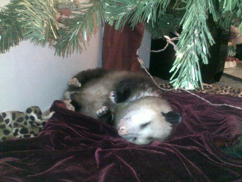 Christmas possum napping under the Christmas tree. | Opossums ...