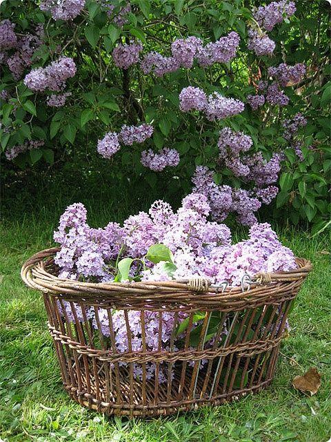 Springtime Lilacs (LOVE the old basket!)