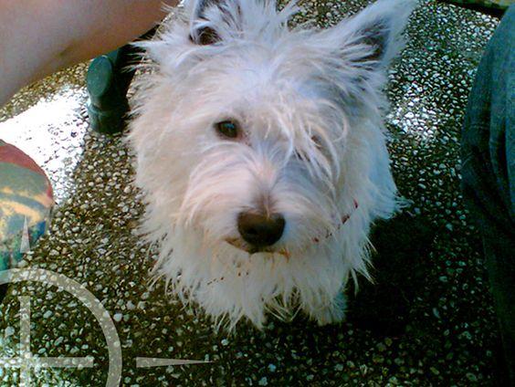Afbeeldingsresultaat voor hond scottish