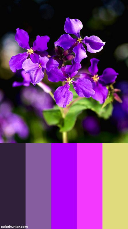 Chinese+Violet+Cress+Color+Scheme