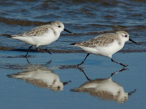 Image result for sanderlings Pinterest