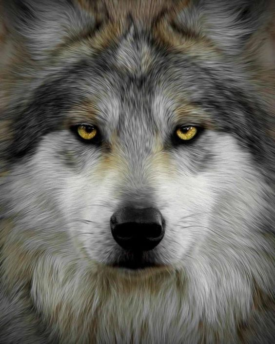 Amazing Wolf: Beautiful, Gray