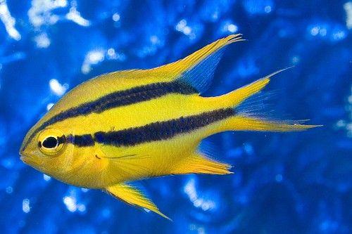 Marine Fish Inverts All Cheap Prices Manchester At Aquarist Classifieds Marine Fish Marine Aquarium Fish Fish