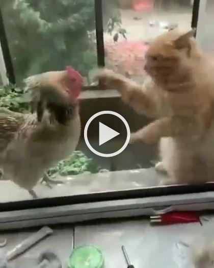 Duelo entre gato e galo, quem sera que vence