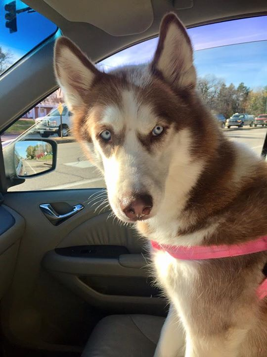 Lost Dog Blaine Siberian Husky Male Date Lost 10 01 2019 Dog S Name Nala Breed Of Dog Siberian Husky Gender Male Closes Losing A Dog Dog Ages Senior Dog