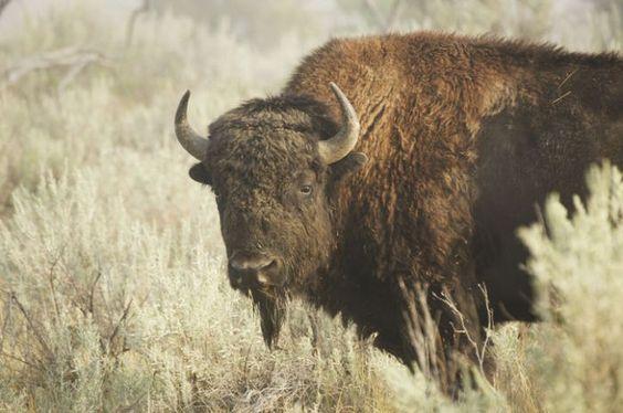 Búfalo Para os povos nativo-americanos, o Búfalo é sinônimo de abundância, de proteção e gratidão. Ele foi a maior fonte de provisões para esse povo, na medida que lhes fornecia alimento, agasalho, abrigo e material para a confecção de diversos instrumentos.  Segundo a tradição dos índios Lakota, foi um filhote fêmea de Búfalo Branco que trouxe o Cachimbo Sagrado para seu povo e os ensinou a orar.  Leia mais em: http://lourdesazevedo.com