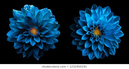 Surreal Wet Dark Chrome Sea Blue Dahlia Flowers Macro Isolated On Black High Detailed Stock Photo In 2020 Flower Canvas Wall Art Flower Canvas Wall Canvas
