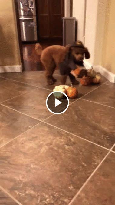 Cachorro brincando de esconder o brinquedo
