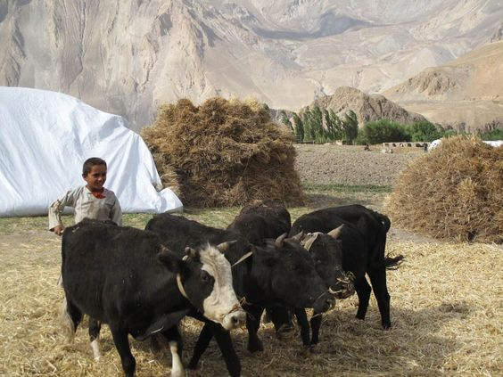 Jamila Haider   A young boy thrashes wheat in Northern Afghanistan, where 153 local varietals have been identified, each cultivated without chemical fertilizers.