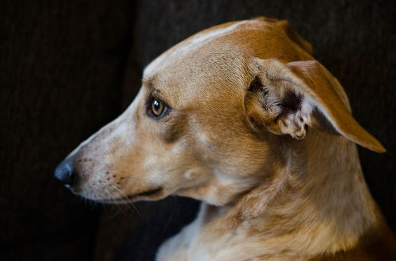 Podenco | adopted |rescued dog