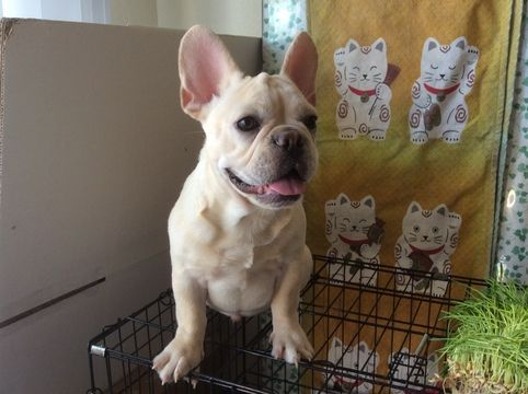 French Bulldog Puppy For Sale In Los Angeles Ca Adn 57518 On Puppyfinder Com Gender Mal Bulldog Puppies For