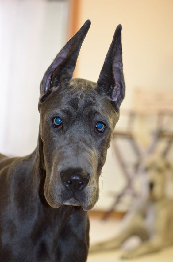 Pin By Jaz Zubiaga On Great Danes Great Dane Dogs Great Dane