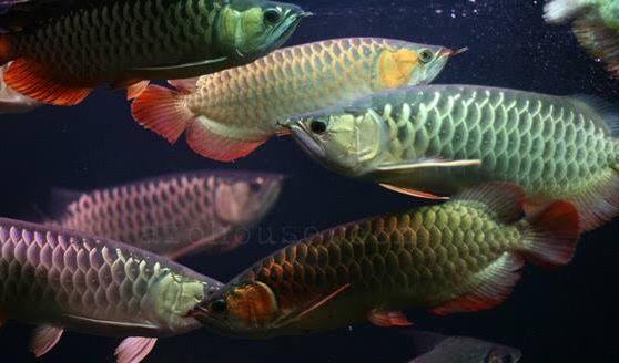 ป กพ นโดย Kavee Wut ใน ปลาม งกร ปลาก ด ปลา ปลาก ด