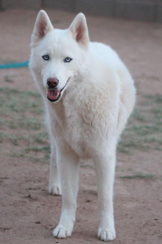 White Siberian Husky Image Credit 6woofs Tumblr Com White
