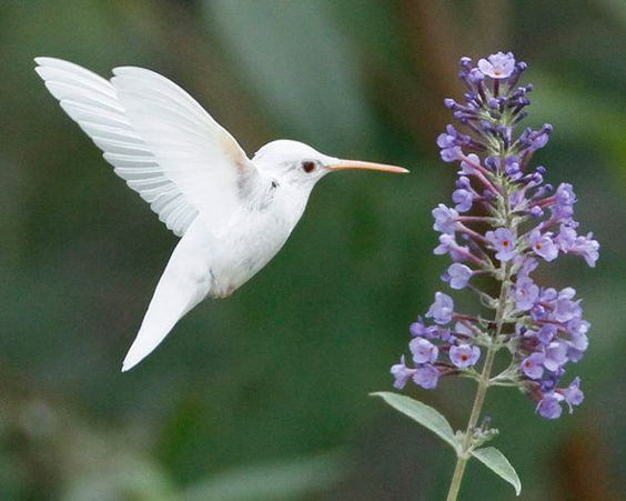 .: Humming Birds, Albino Ruby, Hummingbirds, Albino Hummingbird, White Hummingbird