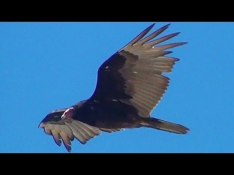 Turkey Vulture In Flight Close Up