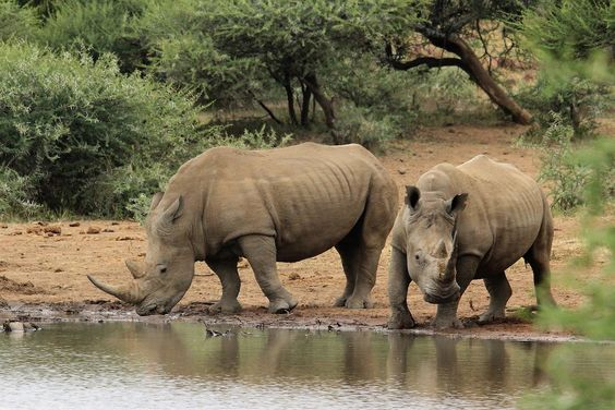 15 Incredible Facts About Rhinos