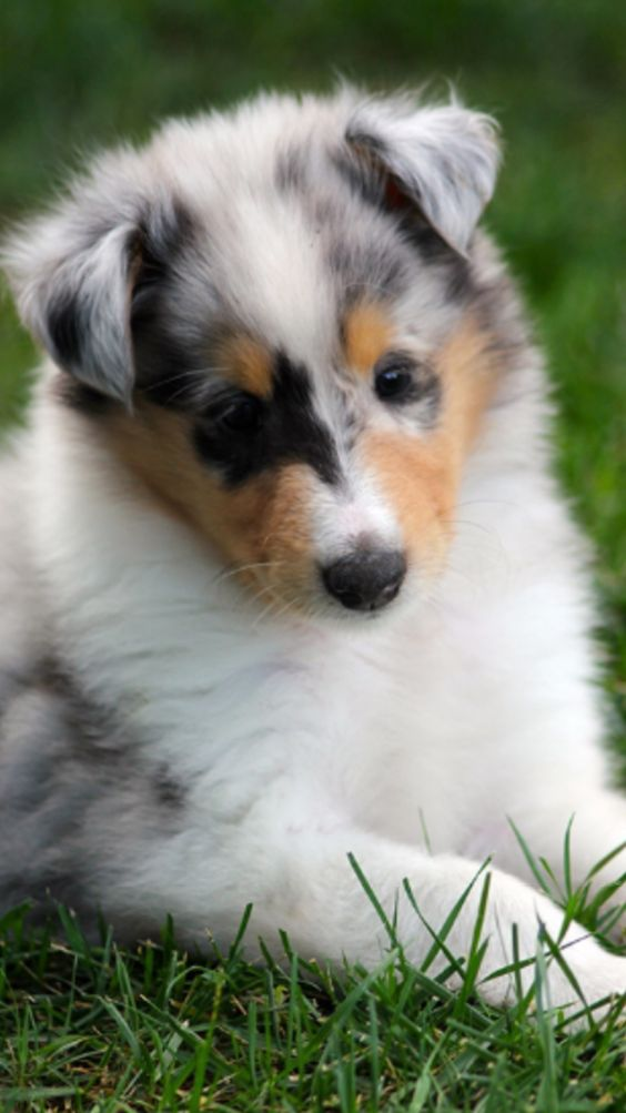 For Sell 2 Female Rough Collie Puppy 4 Months Old Color