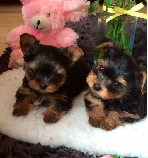 Teacup Yorkies I M About To Adopt Teacup Yorkie Puppy Yorkie Puppy Yorkie Terrier