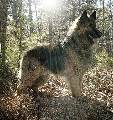 Beautiful, Puppys and Long haired german shepherd on Pinterest