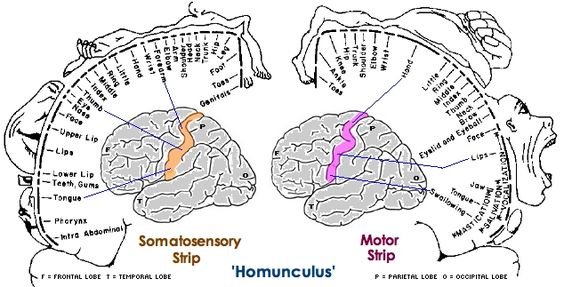 homunculus of the motor and sensory cortex
