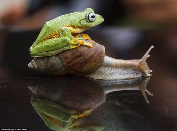 A tiny frog struck up an unlikely friendship with a giant African land snail after clambering onto its shell to catch a ride
