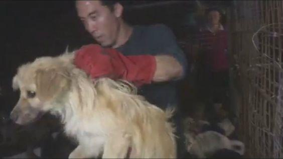 In het zuidwesten van China in Guangxi vond gisteren het jaarlijkse Lychee- en Hondenvleesfeest van Yulin plaats. Er kwam internationaal heel wat kritiek op het festival, vooral op de manier waarop de dieren worden geslacht. De honden worden op traditionele wijze geslacht, maar daar is niet iedereen het er mee eens. Een Amerikaanse dierenrechtenactivist is een ganse dag in de weer geweest om honden uit kun kooien te bevrijden en over te brengen naar asielen voor honden, weg van het festival.