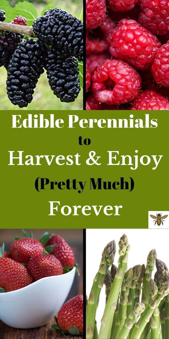 Want to have an abundant supply of fresh food, every single year, without planting! You want PERENNIALS! Plant once and harvest for years to come! Sustainable gardening for your homestead and consistent food production! Come take a look at what perennials can do! #perennials