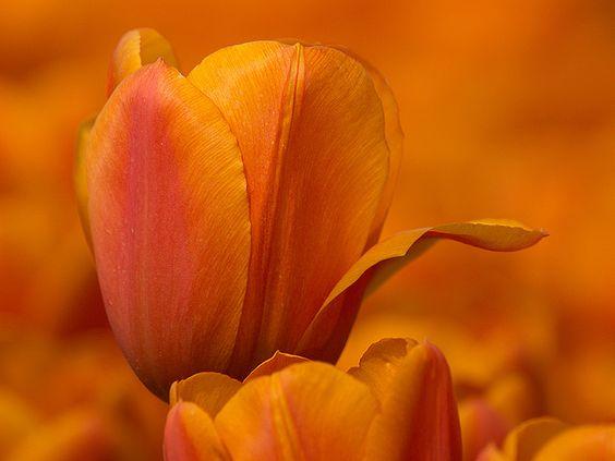 """kendradaycrockett: """" Oranje tulp by T.Valk on Flickr. """""""